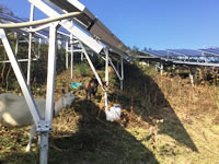 ソーラーシェアリング放牧4